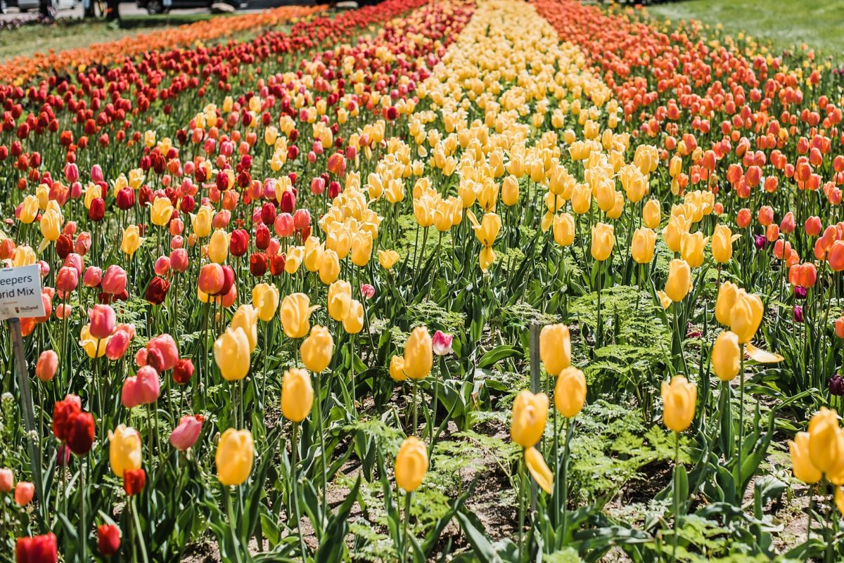 The Tulip Fields