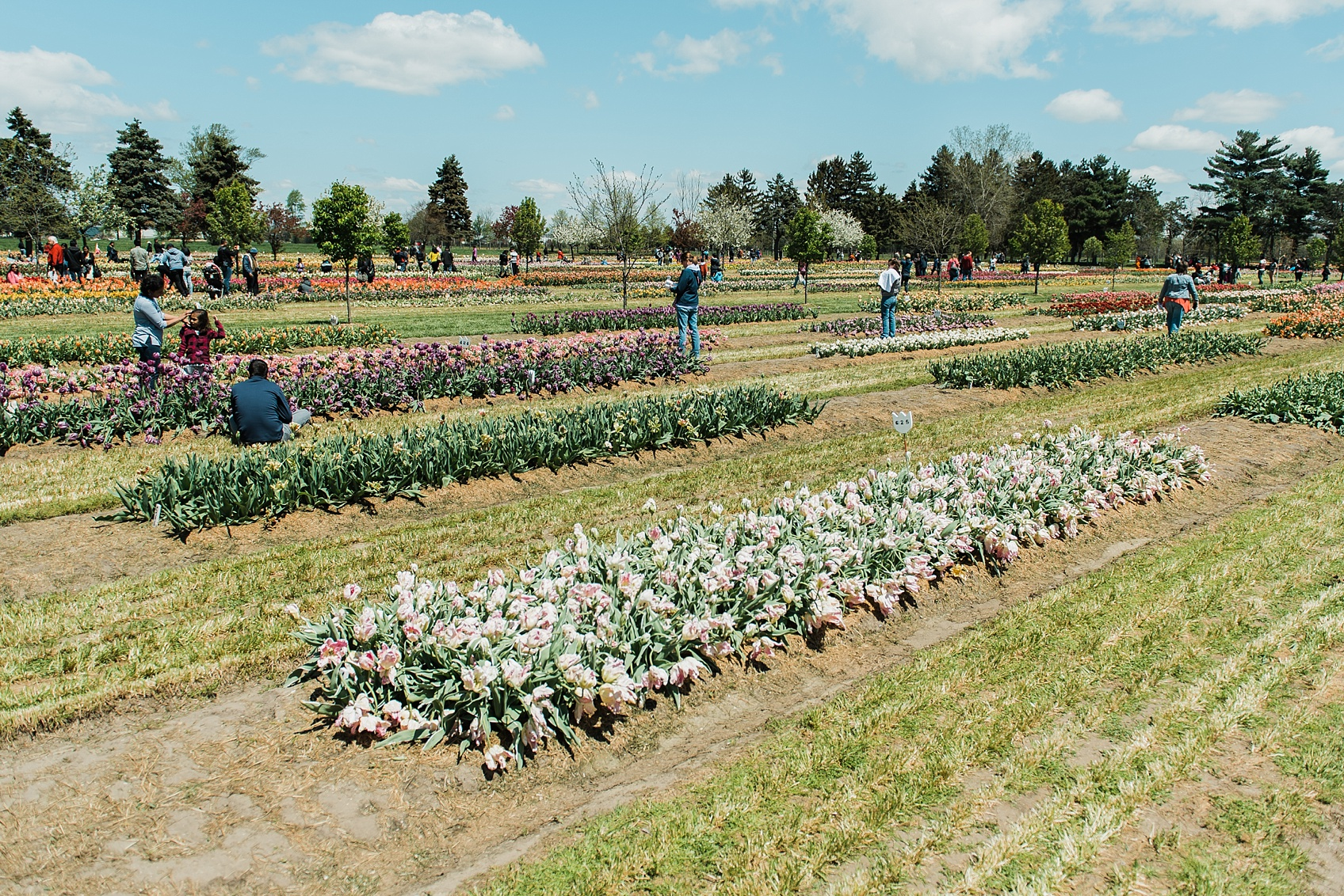 Tulip Farm, Holland Michigan_1873