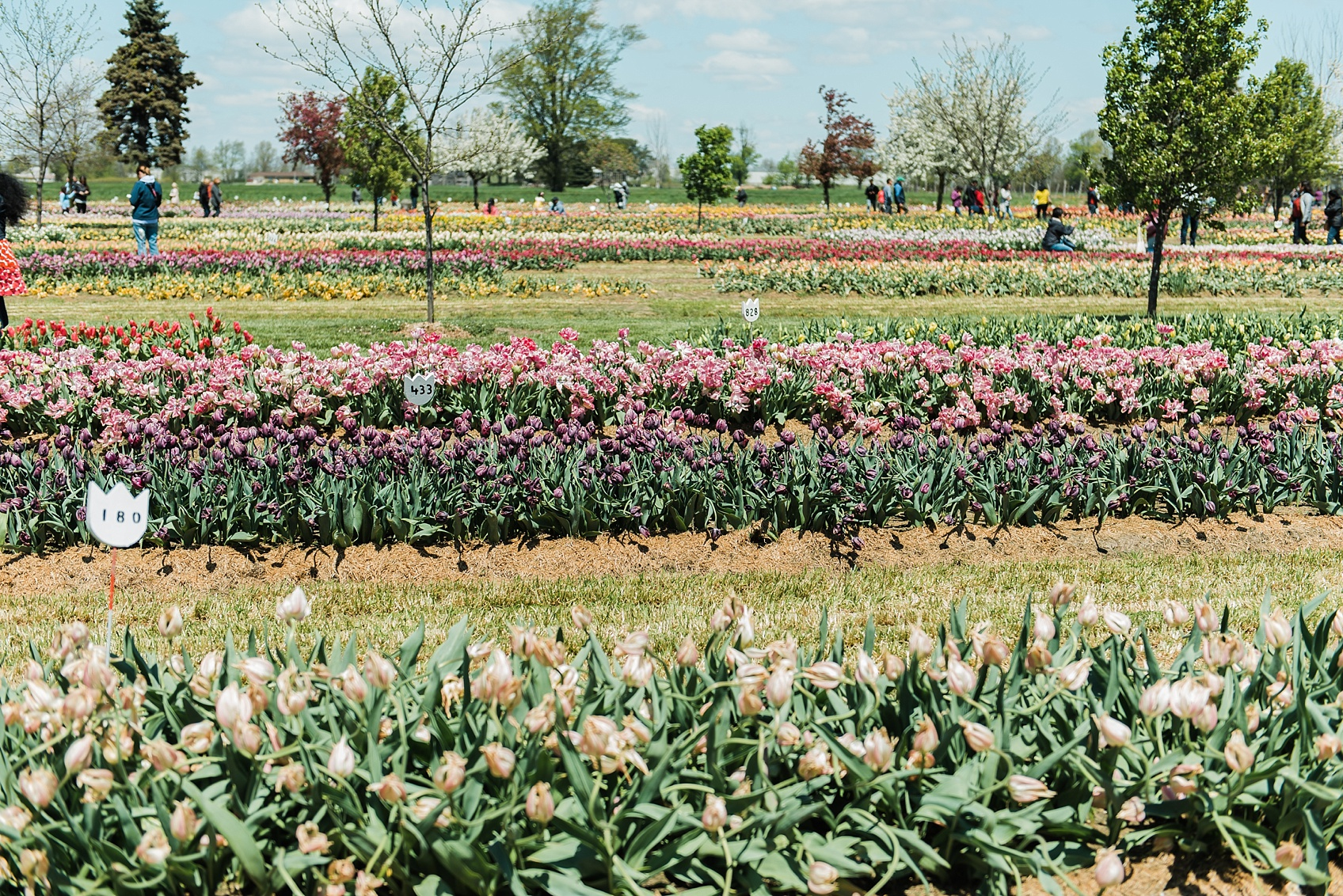 Tulip Farm, Holland Michigan_1875