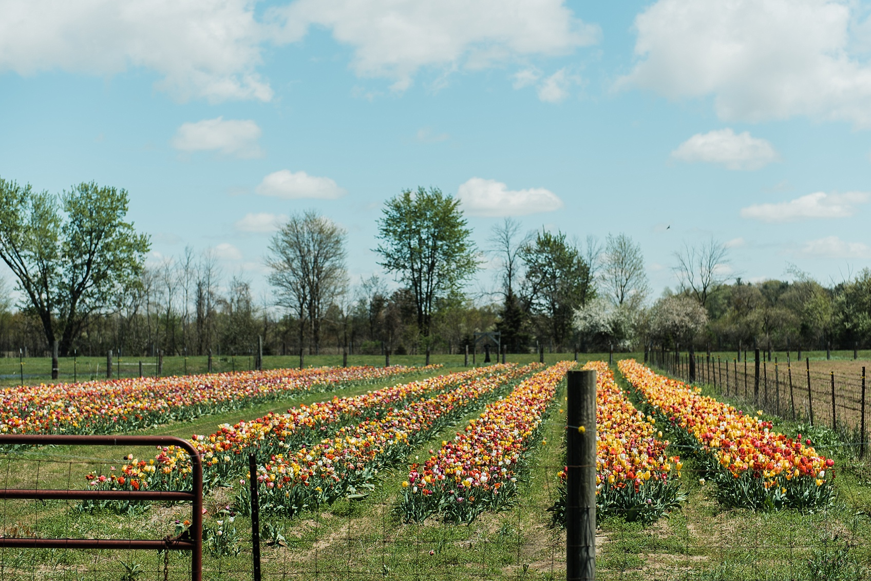 Tulip Farm, Holland Michigan_1877