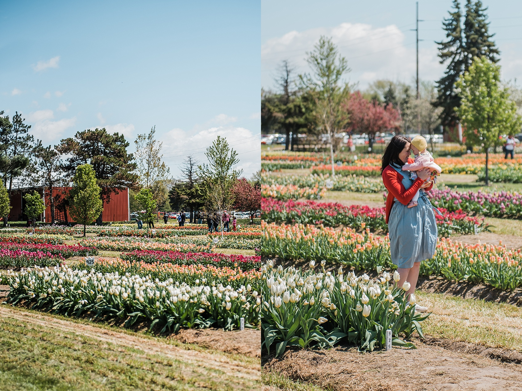 Tulip Farm, Holland Michigan_1884