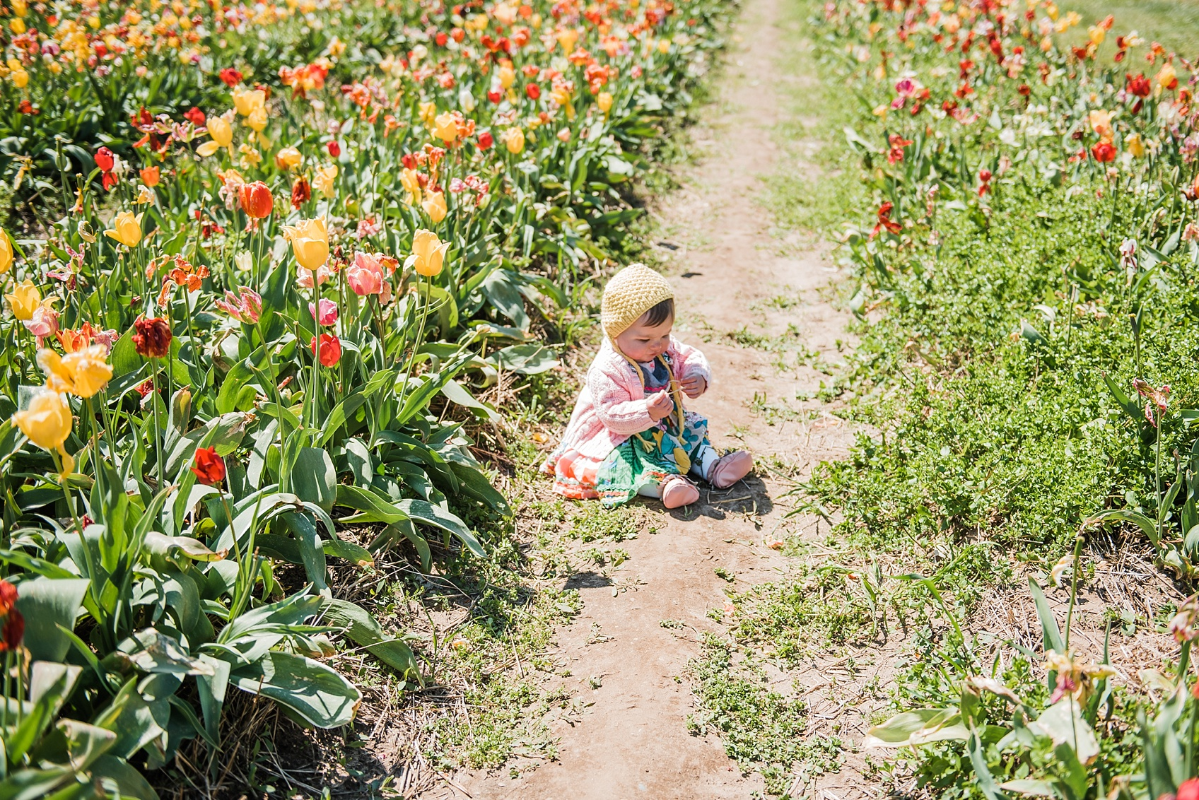Tulip Farm, Holland Michigan_1896